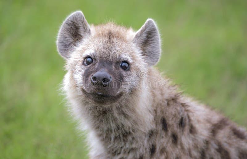 Ritratto di un'iena curiosa del bambino fotografie stock libere da diritti