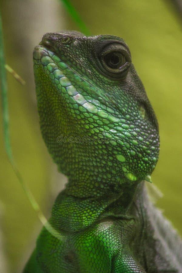 Ritratto di un'iguana immagine stock libera da diritti