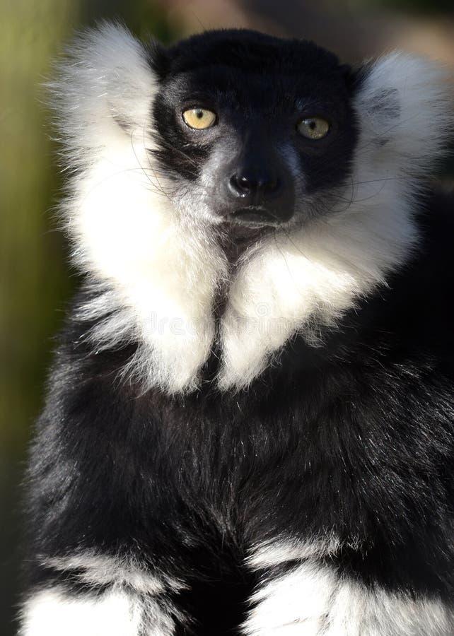 Ritratto di un Lemur in bianco e nero di Ruffed immagine stock libera da diritti
