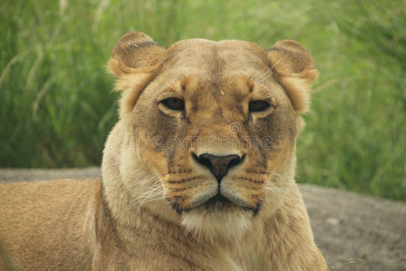Ritratto di un leone che vi esamina fotografia stock
