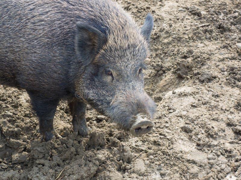 Ritratto di un maiale selvaggio adulto femminile del cinghiale fotografia stock libera da diritti