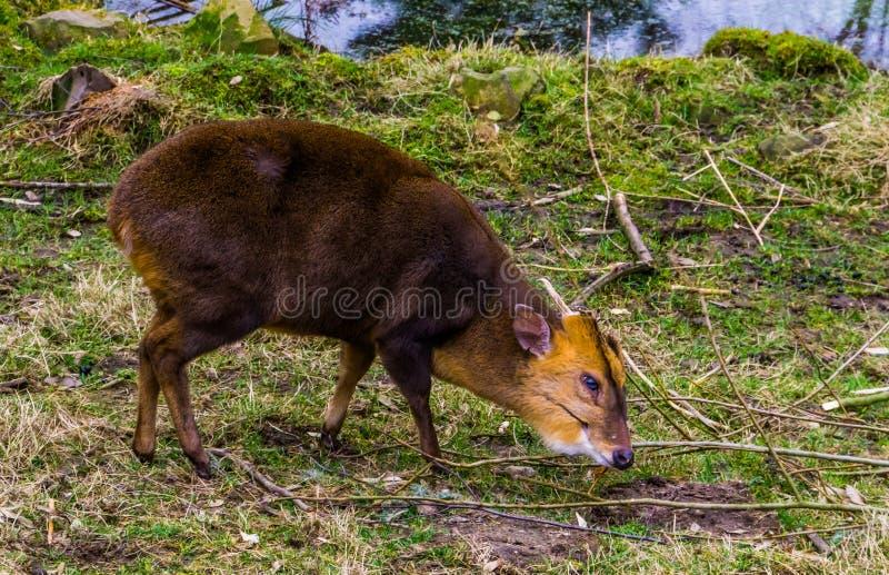 Ritratto di un muntjac cinese maschio che pasce nel pascolo, cervo del primo piano di scortecciamento dall'Asia immagine stock libera da diritti