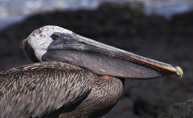 Ritratto di un pellicano seabirds Le isole di Galapagos l'ecuador fotografie stock