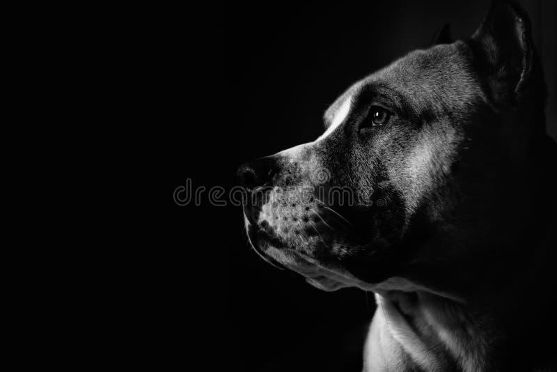Ritratto di un pitbull fotografia stock libera da diritti