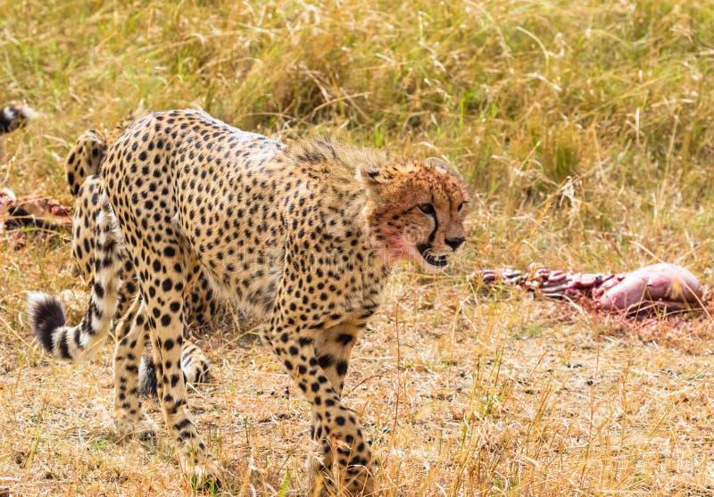 Ritratto di un primo piano del ghepardo Masai Mara Il Kenia, Africa fotografia stock libera da diritti
