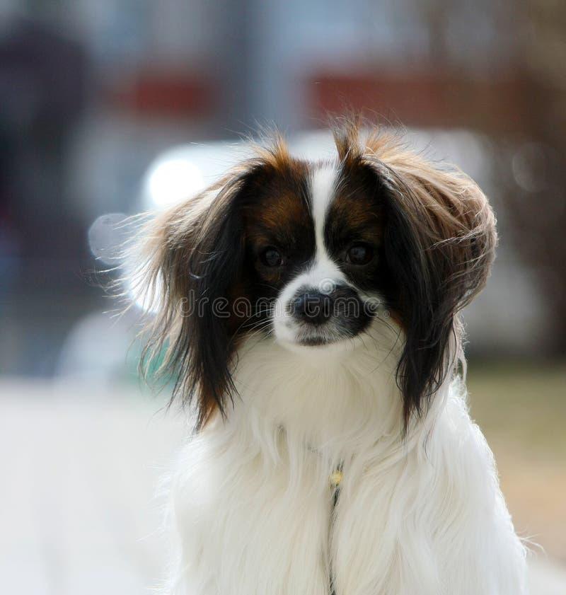 Ritratto di un primo piano di falen Un cane con le orecchie d'attaccatura su un fondo vago immagini stock