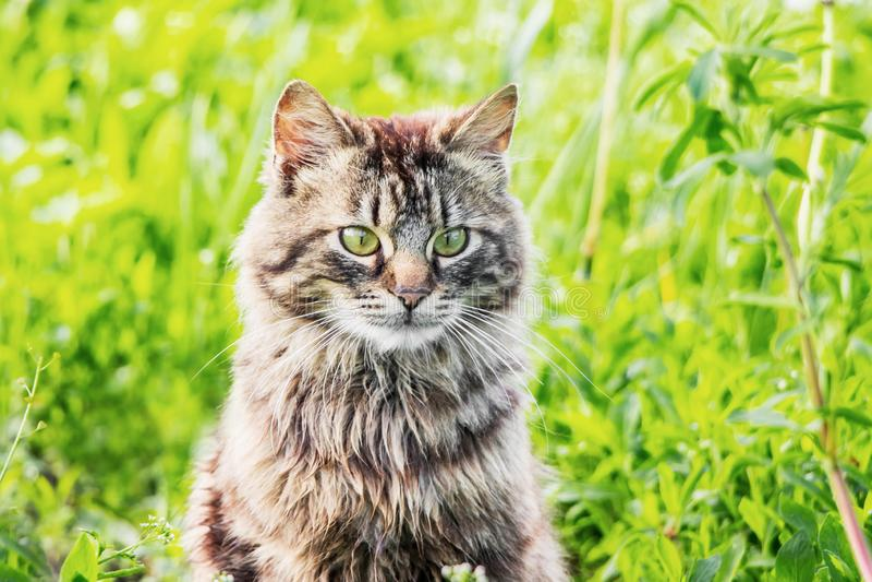 Ritratto di un primo piano di un gatto lanuginoso grigio contro un fondo di grass_ verde fotografia stock libera da diritti