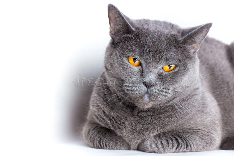 Ritratto di un primo piano liscio-dai capelli britannico del gatto blu immagini stock