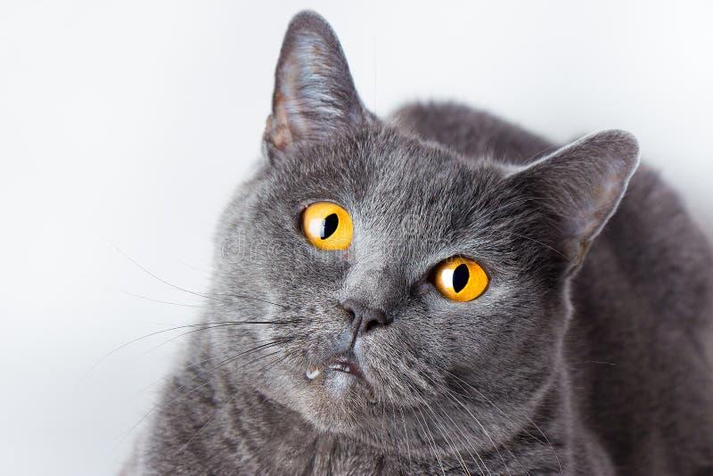 Ritratto di un primo piano liscio-dai capelli britannico del gatto blu fotografia stock libera da diritti
