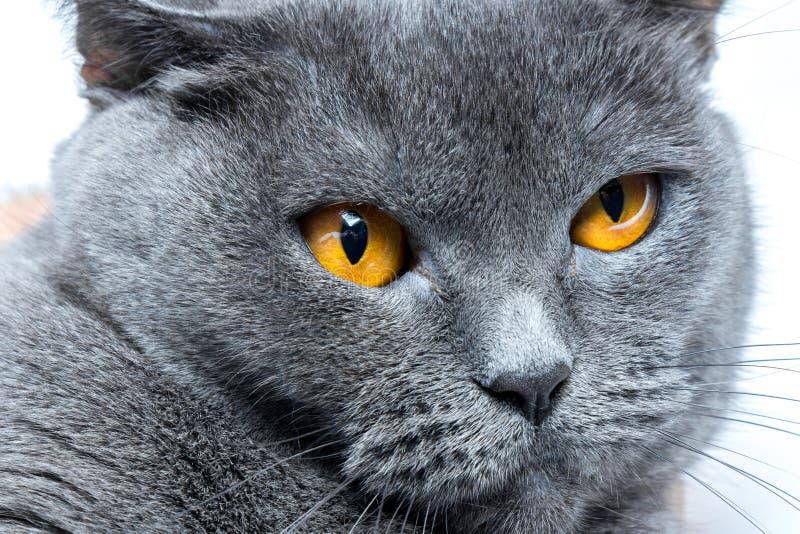 Ritratto di un primo piano liscio-dai capelli britannico del gatto blu fotografie stock libere da diritti