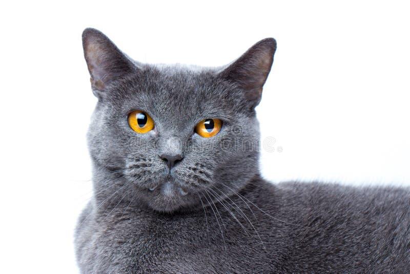 Ritratto di un primo piano liscio-dai capelli britannico del gatto blu fotografia stock