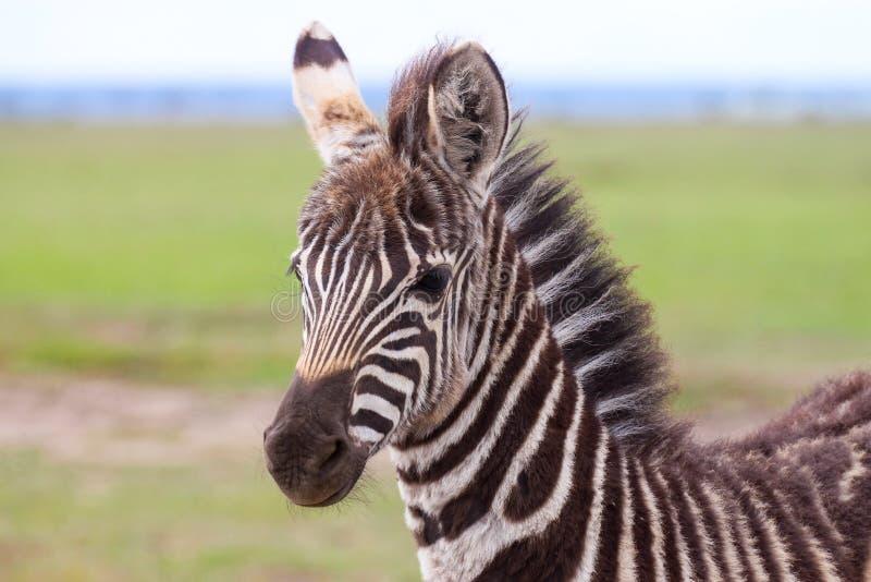Ritratto di un puledro della zebra delle pianure immagini stock libere da diritti