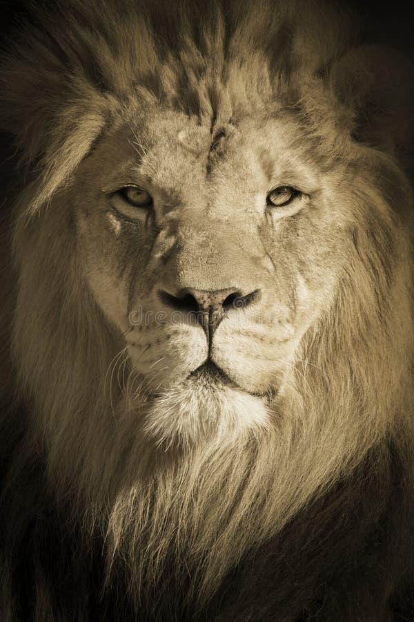 Ritratto di un re African Lion fotografie stock