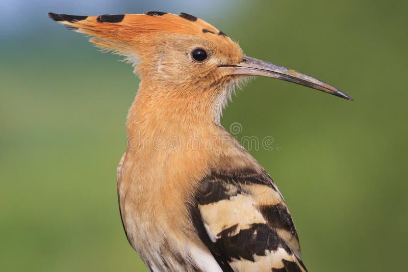 Ritratto di un uccello raro macchiato fotografia stock