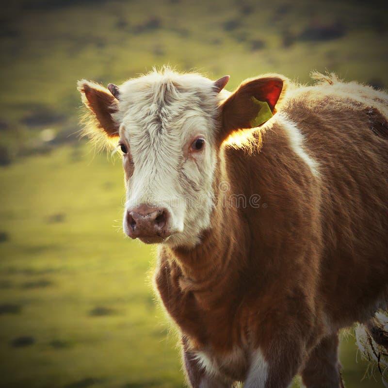 Ritratto di un vitello fotografie stock