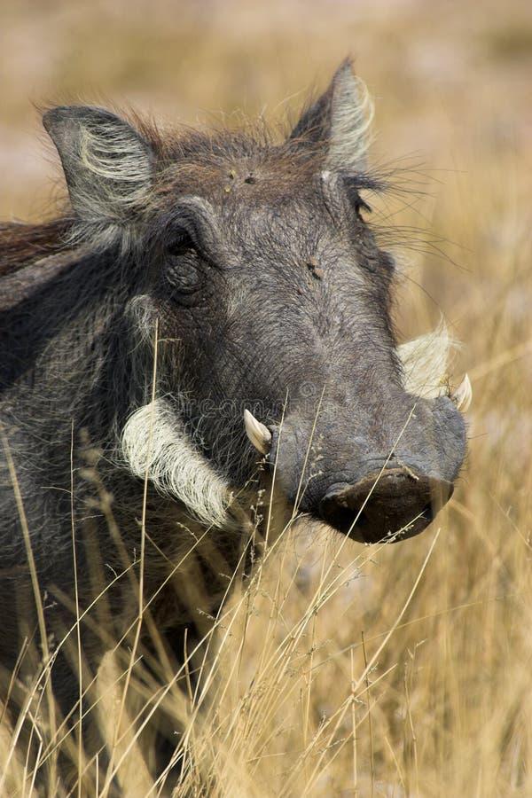 Ritratto di un warthog fotografia stock libera da diritti