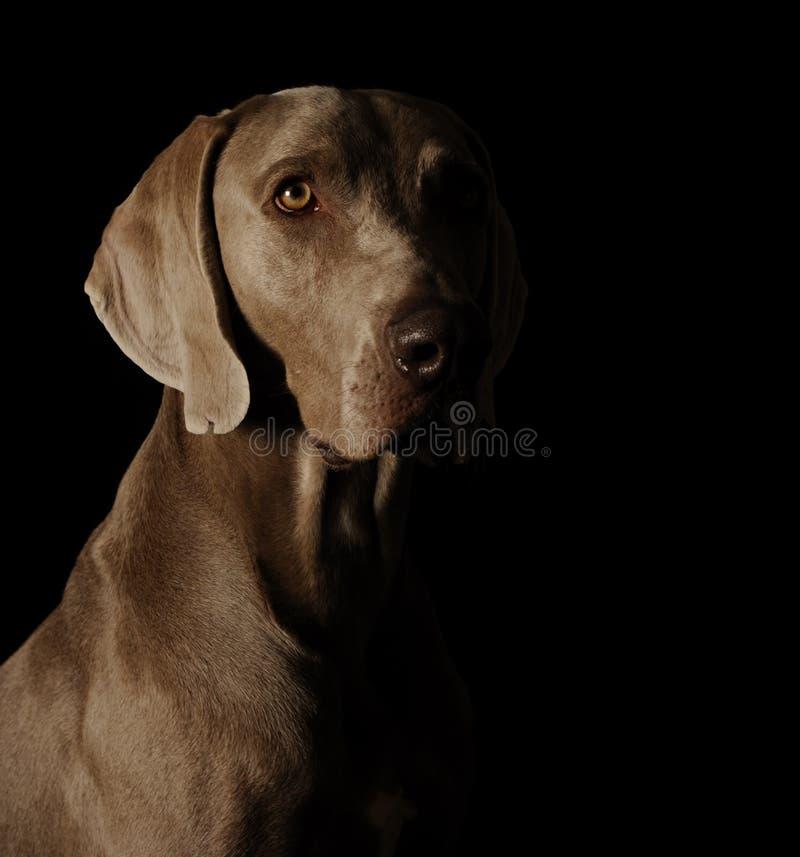 Ritratto di un weimaraner fotografie stock libere da diritti