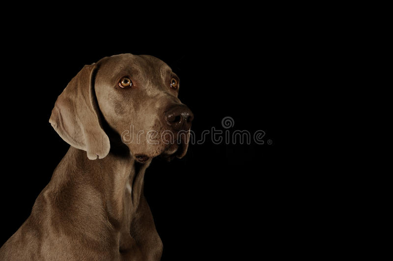 Ritratto di un weimaraner fotografie stock