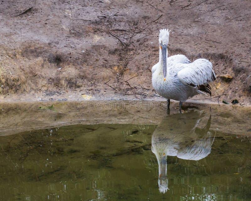 Ritratto di una condizione dalmata del pellicano nell'acqua sul lato del fiume, vicino all'uccello minacciato da Europa fotografia stock