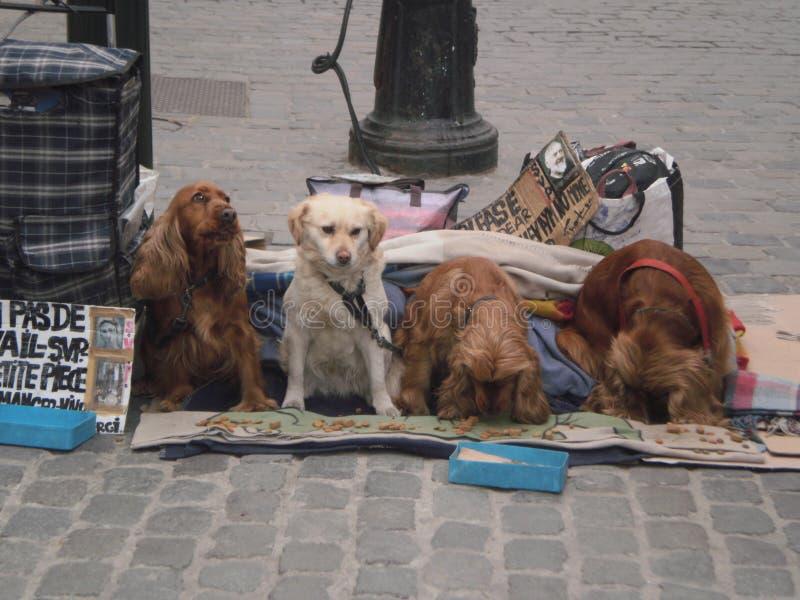 Ritratto di una famiglia adorabile dei cuccioli del Cocker che mangiano sulle vie un giorno nevoso a Bruxelles 22 marzo 2013 Brux fotografia stock