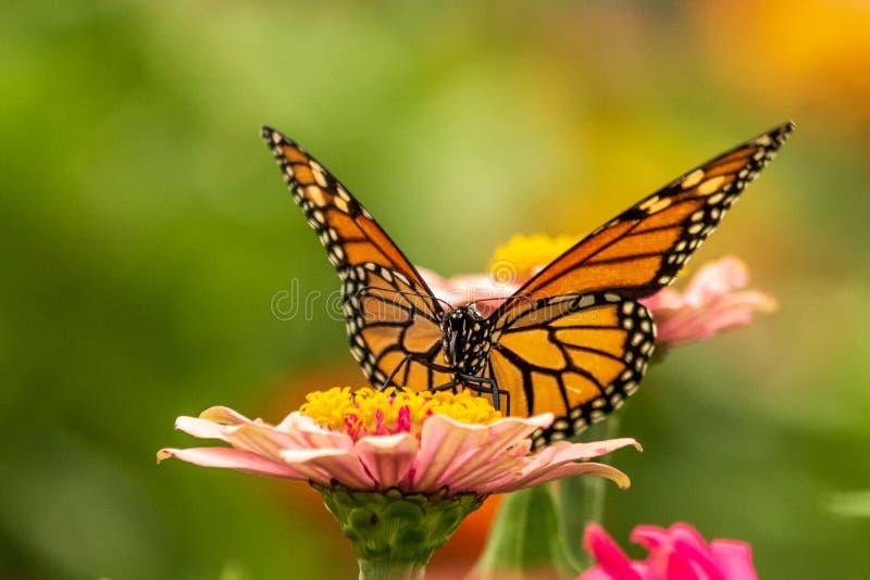 Ritratto di una farfalla di Monarca su un fiore di Zinnia fotografia stock