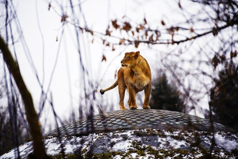 Ritratto di una leonessa fotografia stock libera da diritti
