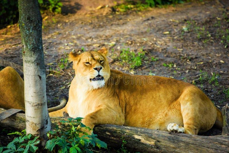 Ritratto di una leonessa africana ( Panthera Leo immagine stock libera da diritti