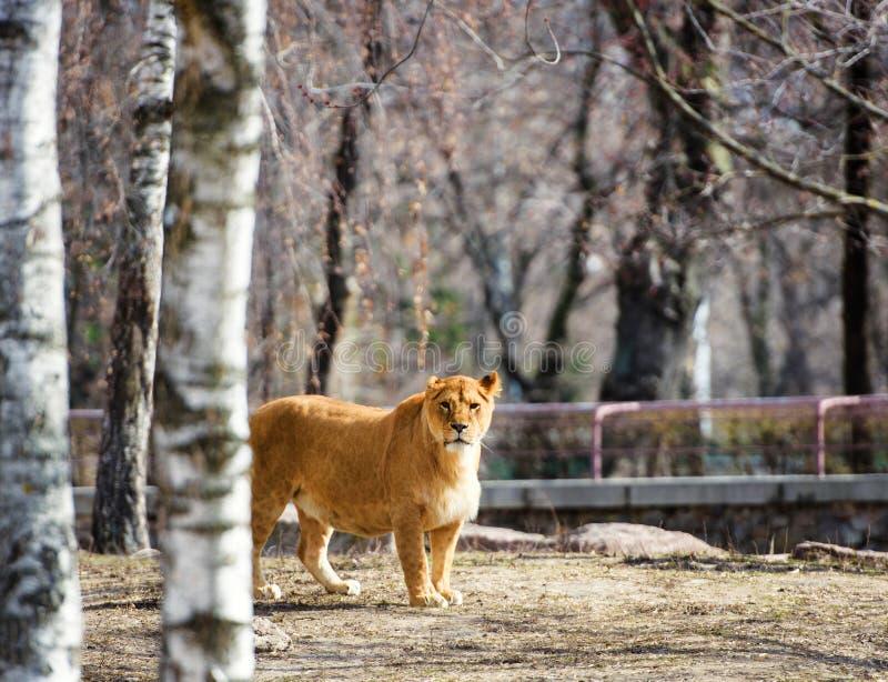 Ritratto di una leonessa immagini stock libere da diritti