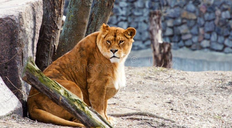 Ritratto di una leonessa immagine stock libera da diritti