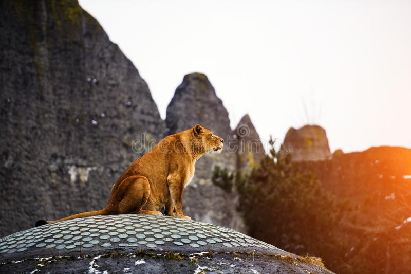 Ritratto di una leonessa immagine stock