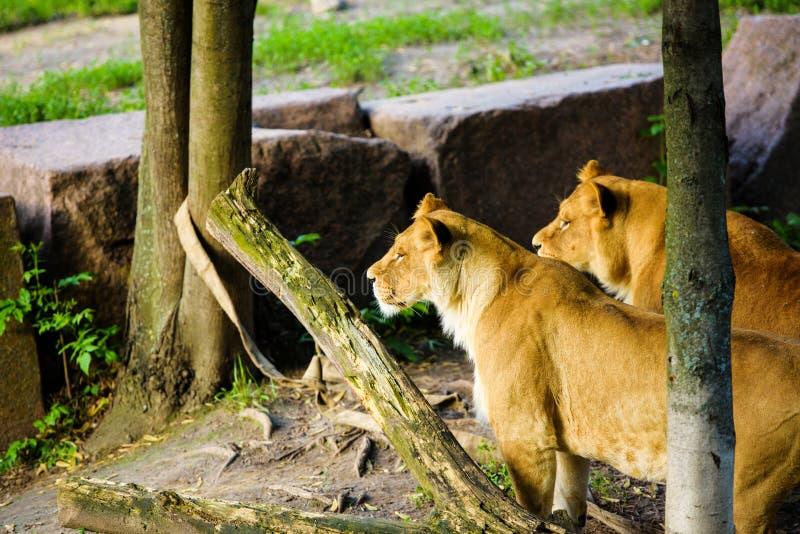 Ritratto di una leonessa & di un x28 africani; Panthera Leo immagine stock libera da diritti