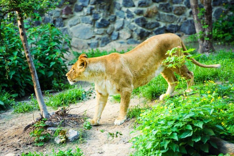 Ritratto di una leonessa & di un x28 africani; Panthera Leo immagini stock libere da diritti