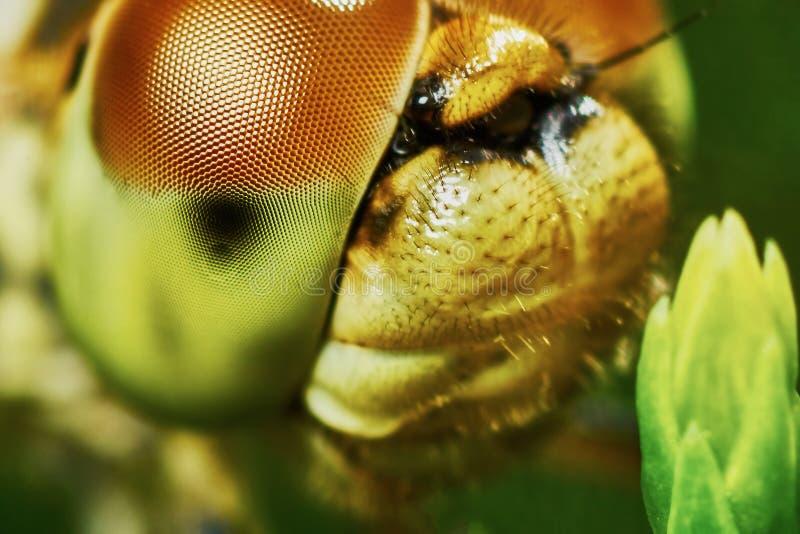Download Ritratto di una libellula fotografia stock. Immagine di mosca - 56887208