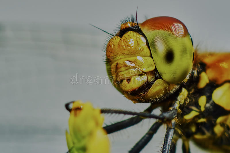 Download Ritratto di una libellula immagine stock. Immagine di closeup - 56887259
