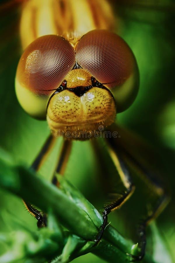 Download Ritratto di una libellula immagine stock. Immagine di occhi - 56888025