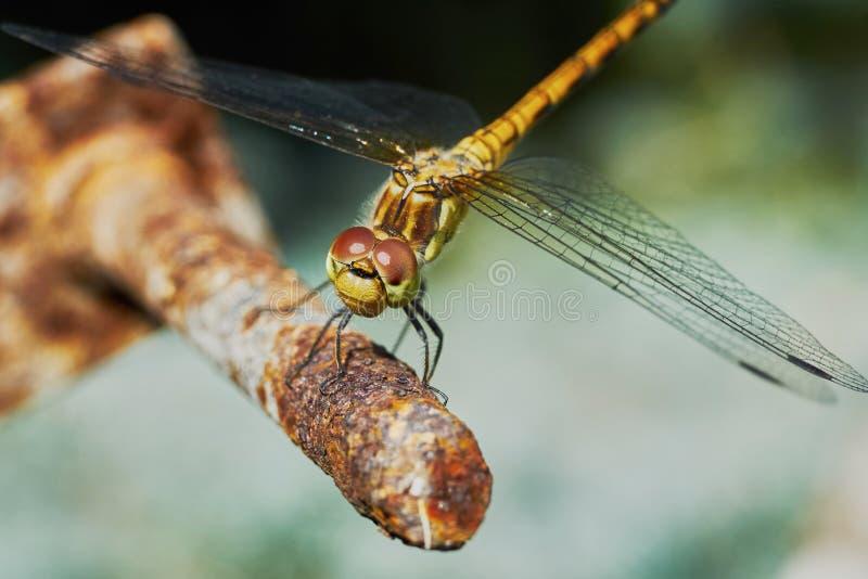 Download Ritratto di una libellula fotografia stock. Immagine di estate - 56888120