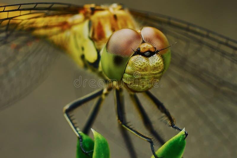 Download Ritratto di una libellula immagine stock. Immagine di estate - 56888195