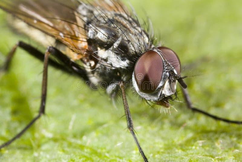 Download Ritratto di una mosca immagine stock. Immagine di fine - 3893551
