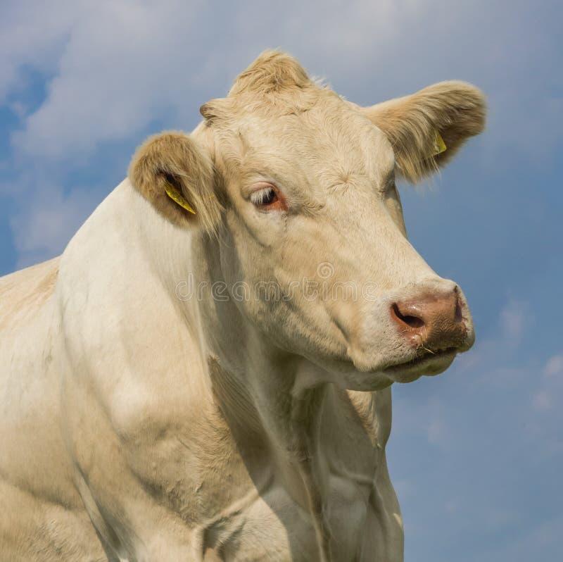 Ritratto di una mucca bionda di d'Aquitaine immagine stock