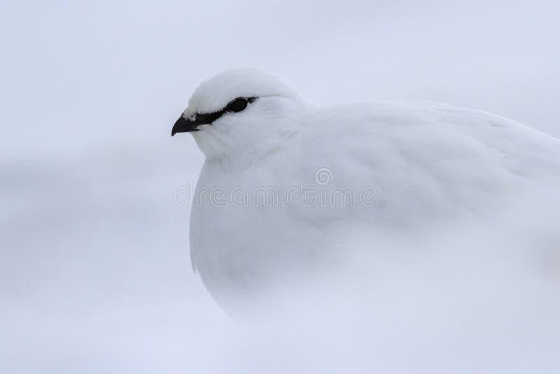 Ritratto di una pernice bianca maschio di comandante in piume di inverno fotografia stock
