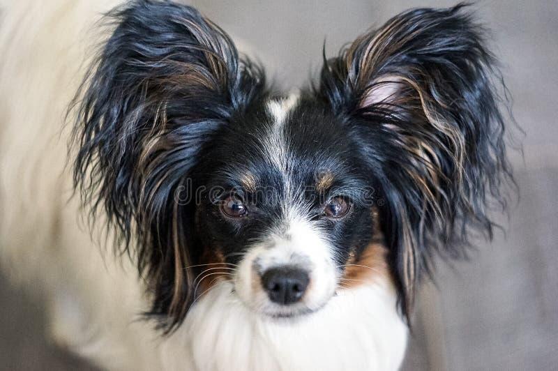 Ritratto di una razza Papillon del cane immagini stock libere da diritti