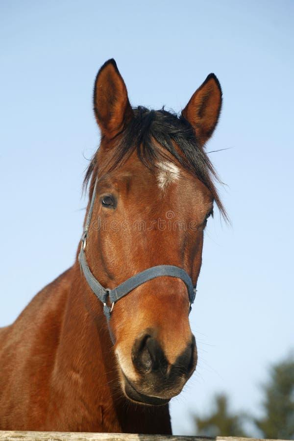 Ritratto di una scena rurale del cavallo del recinto per bestiame di razza piacevole di inverno immagini stock