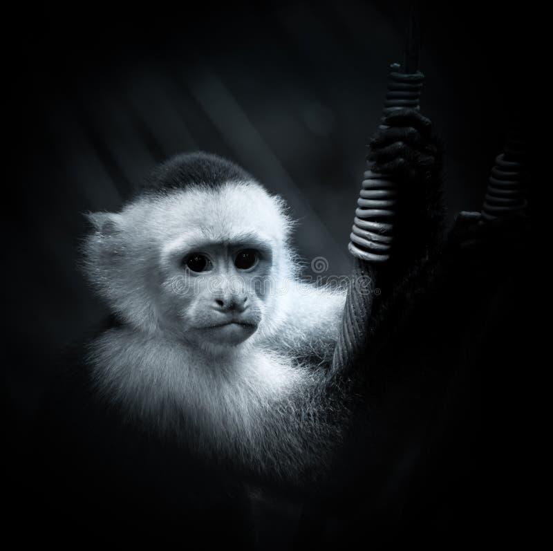 Ritratto di una scimmia throated bianca del cappuccino fotografia stock libera da diritti