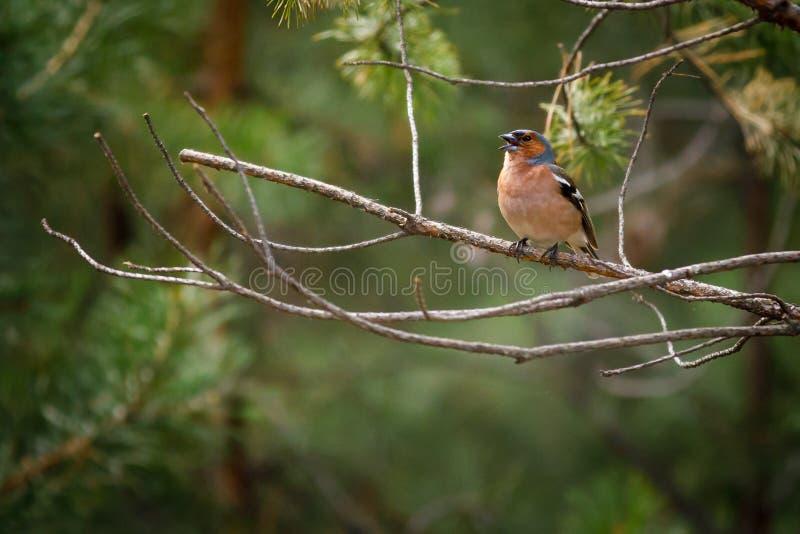 Ritratto di una seduta del fringuello di canto dell'uccello fotografia stock libera da diritti