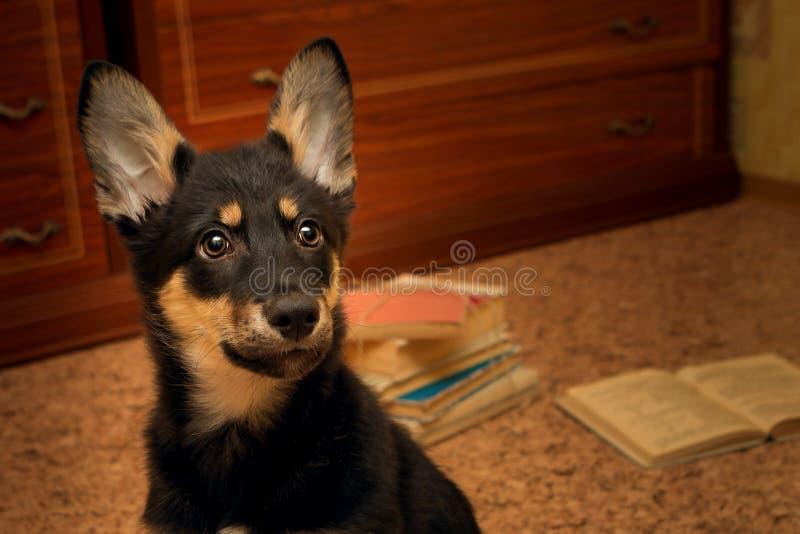 Ritratto di una stanza sola del cucciolo sui precedenti dei libri fotografia stock