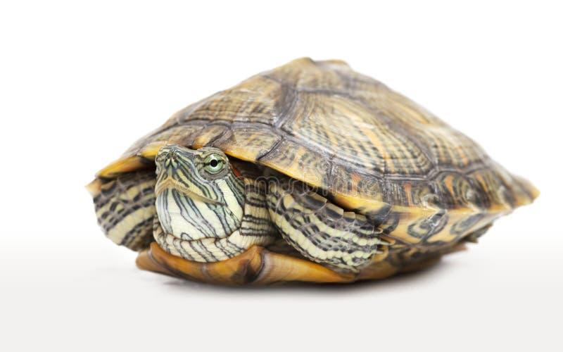 Ritratto di una tartaruga d'acqua dolce immagine stock libera da diritti