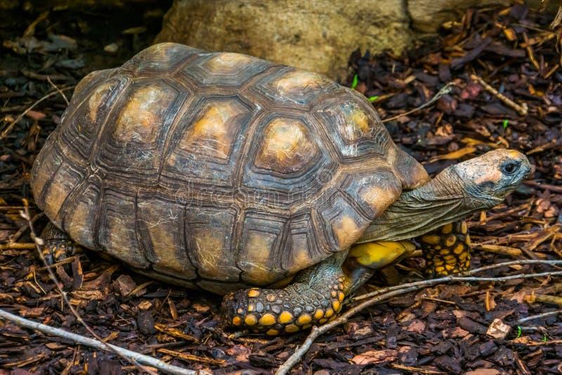 Ritratto di una tartaruga footed gialla, tartaruga gigante brasiliana, specie vulnerabile del primo piano del rettile dal bacino  fotografia stock libera da diritti