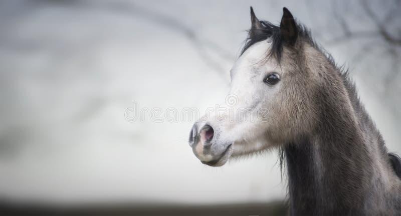 Ritratto di una testa di cavallo araba immagine stock libera da diritti