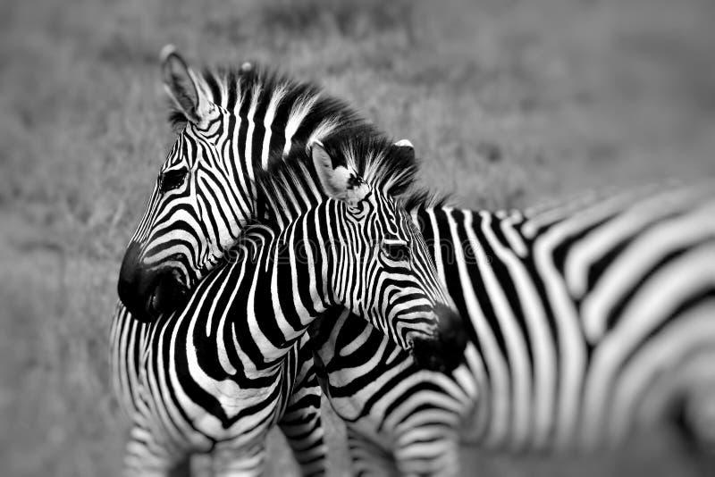 Ritratto di una zebra al parco nazionale Sudafrica del kruger immagini stock