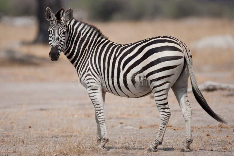 Ritratto di una zebra selvaggia in Africa del Sud. fotografia stock libera da diritti